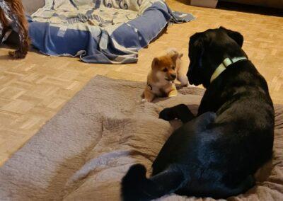 Labrador mit Shiba Inu auf Bett